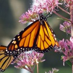 monarch_butterflies_on_a_flower_196963